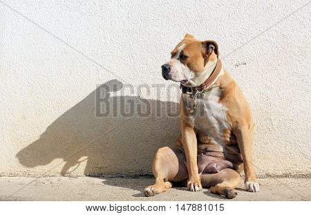 senior female staffordshire terrier sitting funny on a morning sun with shadow on a wall
