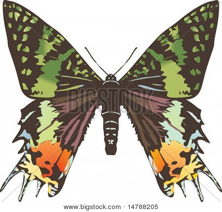 illustration with green and black butterfly isolated on white background
