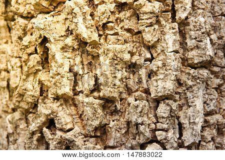 Close up of Indian cork tree (Millingtonia hortensis Linn.f)