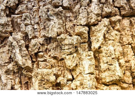 Cluse up of Indian cork tree (Millingtonia hortensis Linn.f)