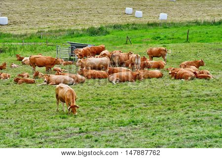 Saint Germain sous Cailly France - june 23 2016 : cows in a meadow