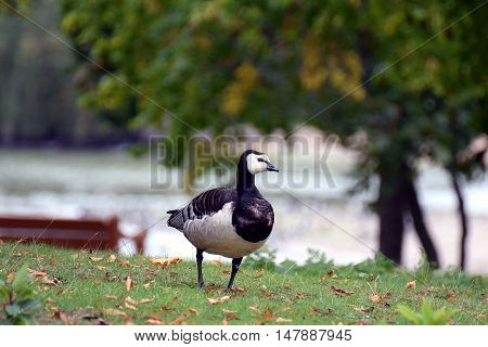 Barnacle Goose (Branta leucopsis) walking in the park.