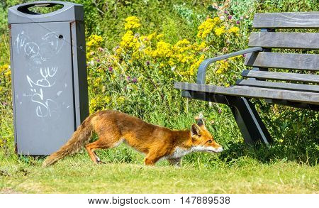immature urban red fox scavenging in a park at Hoek van Holland the Netherlands