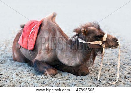 Bactrian Camel In Nubra Valley, Ladakh, India