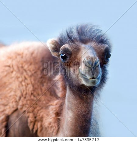 Bactrian Camel In Nubra Valley, Ladakh, North India