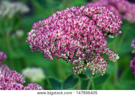Stonecrops, Crassulaceae sedum herbstfreude flowrs on September.