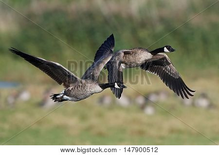 Canada geese (Branta canadensis) in flight with vegetaion in the background