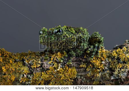 Vietnamese Mossy Frog (Theloderma Corticale) on lichen covered branch