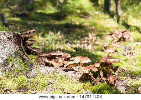 Several large brown mushrooms grow on tree stump