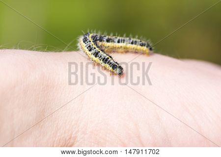 Closeup of butterfly larva crawl on human hand