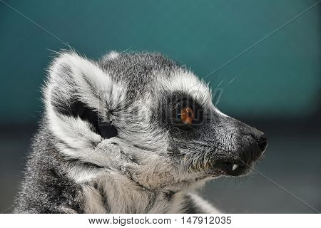 Close Up Portrait Of Ring-tailed Lemur Catta