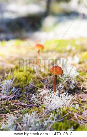 Brown small mushrooms grow in a moss in autumn forest