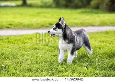 Puppy husky stands on the grass and looking away