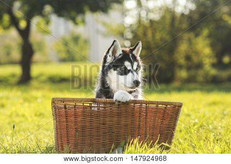 husky puppy in a basket. black and white colored puppy