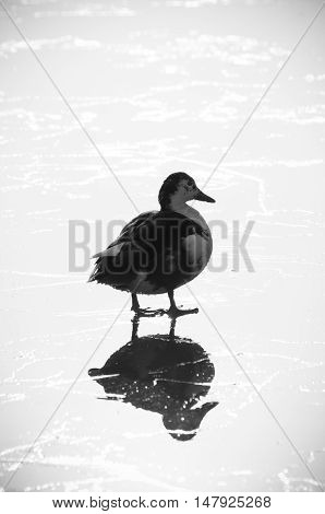 silhouet of a duck on a frozen lake