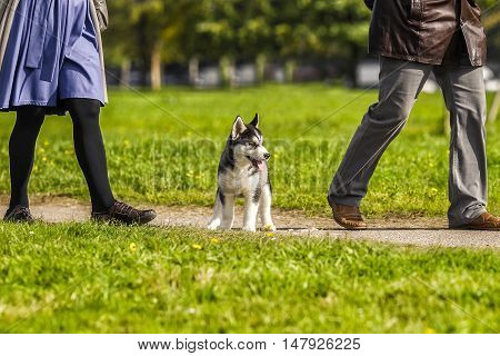 puppy husky is not the way at the owner's feet