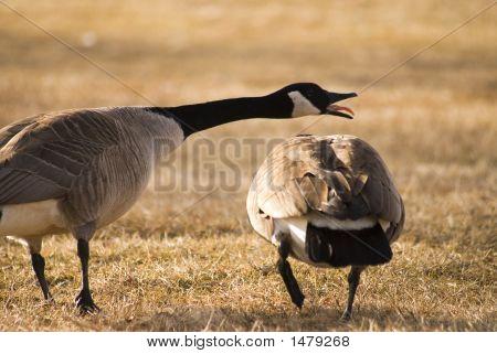 Screaming Goose