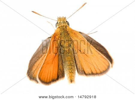 beautiful small brown butterfly on white background