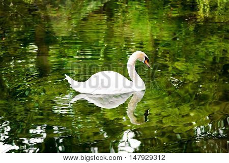 Swan on the lake surrounded by trees.