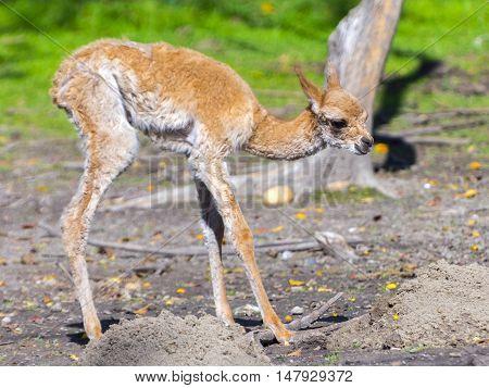 Newborn Vicugna Cria