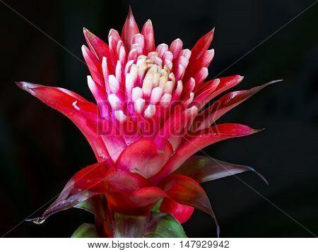 Red Bromelia Flower