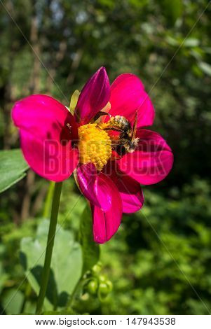 Bumble bee pollinating a red flower in summer garden