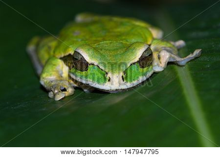 Masked Frog Or Masked Rock Frog Litoria Personata