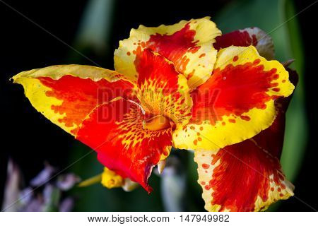 Orange Gladiolus Tropical Flowers