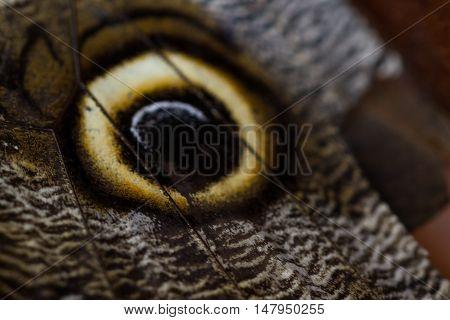 Owl Butterfly - Caligo Martia