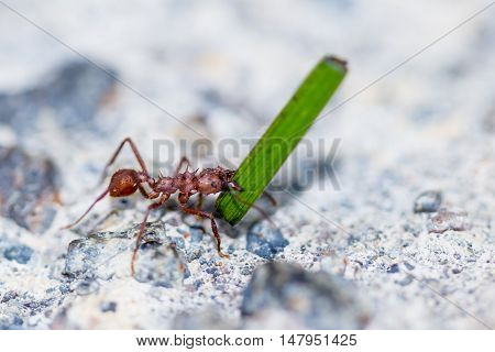 Leafcutter Ant With A Blade Of Grass