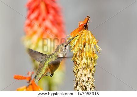 Rufous Hummingbird feeding on Red Hot Poker Flower, British Columbia, Canada