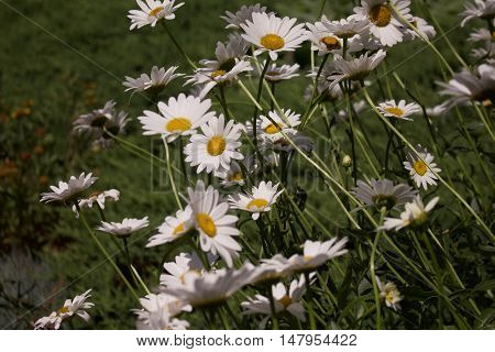 A family of daisies stretching up to the sun.
