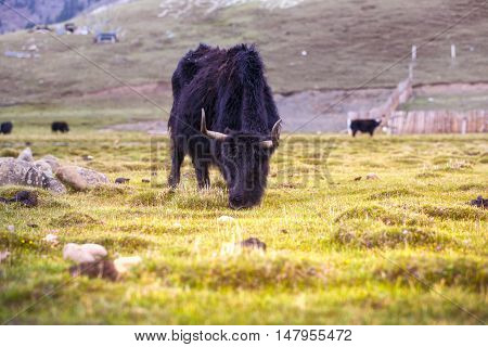 Yak eating green grass in Sichuan Province, China