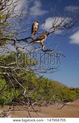 Galapagos hawks at Espumilla beach,Santiago Island, Galapagos Islands, Ecuador