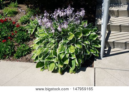 Purple hostas, also called plantain lillies, bloom at the foot of the stairs of the Holy Childhood Church near downtown Harbor Springs, Michigan during August.