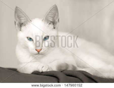 Kitten is a cute white kitty cat with bright blue eyes and an adorable pink nose.