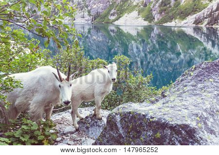 Wild mountain goats in the Cascade mountains, United States of America