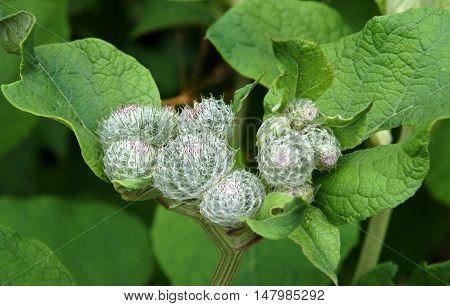 Flower buds on Wooly or Downy Burdock