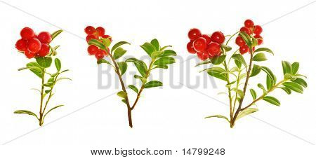 branches of red cow-berries isolated on white background poster