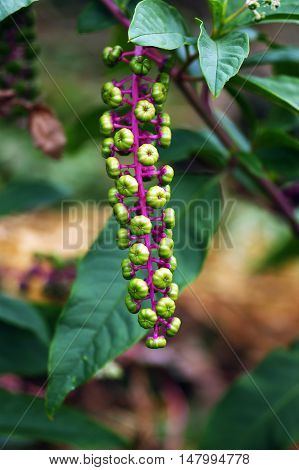 Bunch of unripe berries on a bush Phytolacca