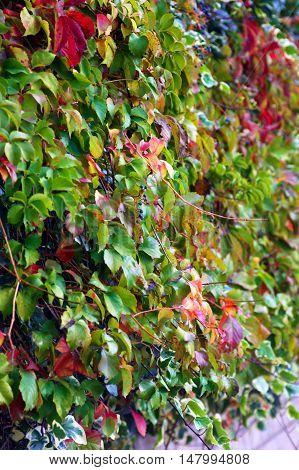 Lush green and red foliage Parthenocíssus quinquefolia