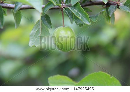 Plum fresh plums Tree branch green plums erik