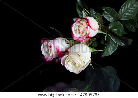 Delicate bouquet of three white roses with pink edges of petals and reflection on a black background