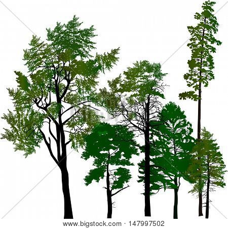 illustration with pine trees group isolated on white background