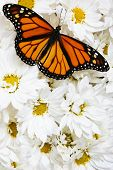 Monarch butterfly on mass of white flowers poster