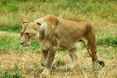 A beautiful lioness walking and hunting in a game park in South Africa poster