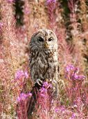 Brown owl among flowers on the meadow - Strix aluco poster