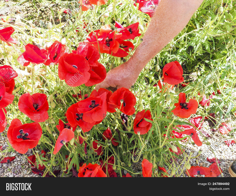 Tearing Poppies Image Photo Free Trial Bigstock