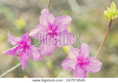 Rhododendron Flower On Light Background. Beautiful Pink Rhododendron Flowers