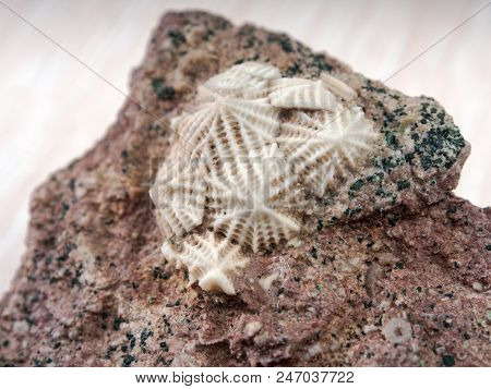 Ancient Fossilized Echinoderms In Stone Close Up